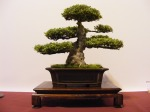 eba_2013_hungary_bonsai