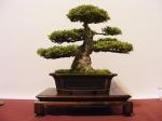 eba_2013_hungary_bonsai