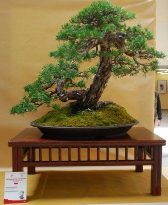 Pinus silvestris